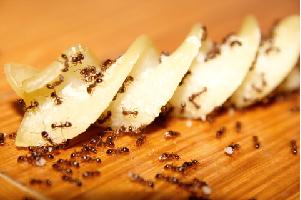 Formigas levando comida